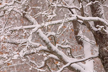 snow-covered tree limbs